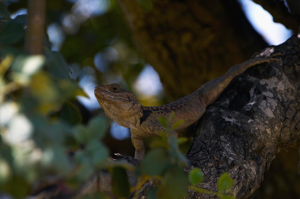 Roughtail Rock Agama (Agama Stellio), Akamas Peninsula, Cyprus