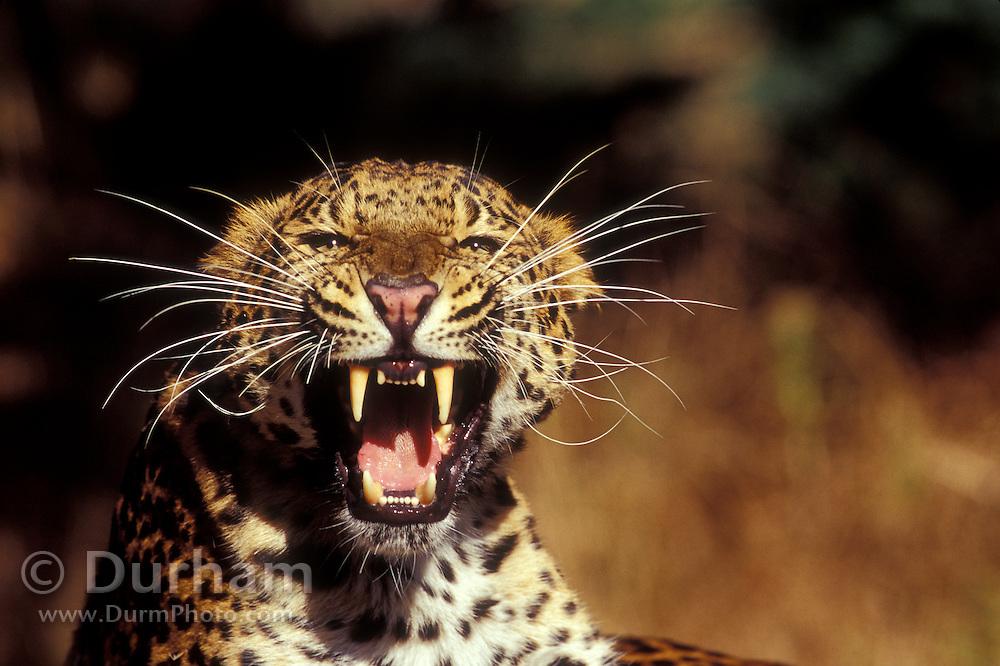 An amur leopard (Panthera pardus orientalis) snarling at the camera. Captive.