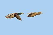 Mallard Ducks in flight - male & female.(Anas platyrhynchos).Back Bauy Reserve, California