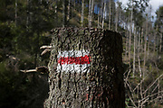 A Polish hiking route sign on a spruce tree where others have been badly affected by the European spruce beetle, in Dolina Mietusia, a hiking route in the Polish Tatra National Park, on 18th September 2019, in Dolina Mietusia, near Zakopane, Malopolska, Poland. The European spruce beetle (Ips typographus) is one of 116 bark beetles species in Poland which is killing thousands of spruces. The insect's population can grow rapidly via wind and snow etc. which eventually leaves a gap in the landscape, thereby changing the forest floor's ecology.