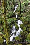 Admire lush green forest on Cataract Creek Trail, Mount Tamalpais Watershed, Marin County Municipal Water District, California, USA.
