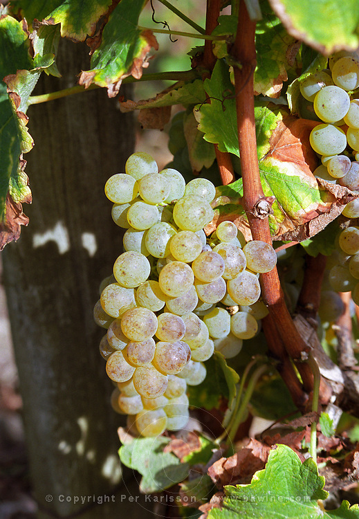 Semillon grapes that have turned colour from green to golden brown brownish but not yet with noble rot   at harvest time  Chateau Raymond Lafon, Meslier, Sauternes, Bordeaux, Aquitaine, Gironde, France, Europe