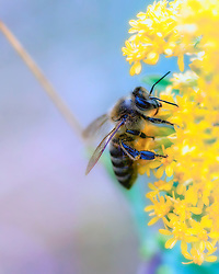 A busy bumblebee stops to pollinate yellow wildflowers in pastel colors