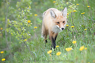 Fox, Waterton Lakes National Park