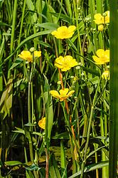 Grote boterbloem, Ranunculus lingua