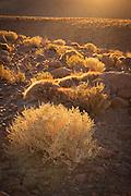 Desert Flora on the road side in the Atacama Desert, Chile, South America