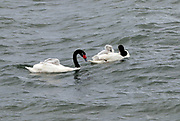 A pair of Black Necked Swans (Cygnus melancoryphus), Cisne de cuello negro, with two cygnets riding on their backs swim in the sea. Puerto Natales, Chile. 17Feb13