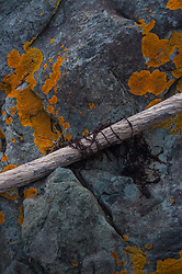 Orange lichen on rock with stick and seaweed, Nautilus Island, Castine, Maine, US