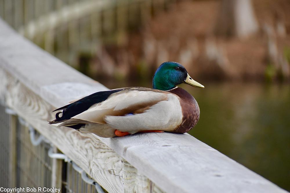 P1, Mallard Duck sitting on a railing