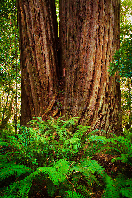 Redwoods and sword ferns in Redwood National Park, California