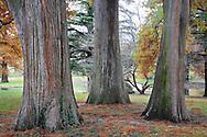 Three Stately Trunks Of The Eastern Red Cedar Tree In Autumn, Southwestern Ohio, Juniperus virginiana