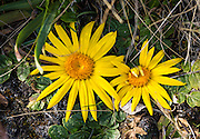 """Large yellow flowers of Paranephelius uniflorus (in the Asteraceae/Compositae or """"daisy"""" family) hug the ground on a day hike 630 meters vertically up a steep trail to Lake/Lago Churup (4465 meters elevation), near Huaraz in the Cordillera Blanca, Andes Mountains, Peru, South America."""