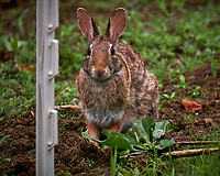 Harvey the Rabbit in my wildflower garden/meadow. Backyard spring nature in New Jersey. Image taken wi th a Fuji X-T2 camera and 100-400 mm OIS lens (ISO 200, 400 mm, f/6.4, 1/75 sec).