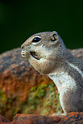 Harris Antelope Squirrel (Ammospermophilus harrisii) Amado, Arizona<br /> animals<br /> wildlife<br /> mammals<br /> rodent
