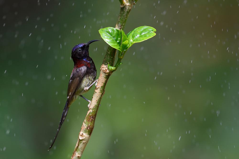 Black-throated sunbird, Aethopyga saturata, Tongbiguan nature reserve, Dehong, Yunnan, China