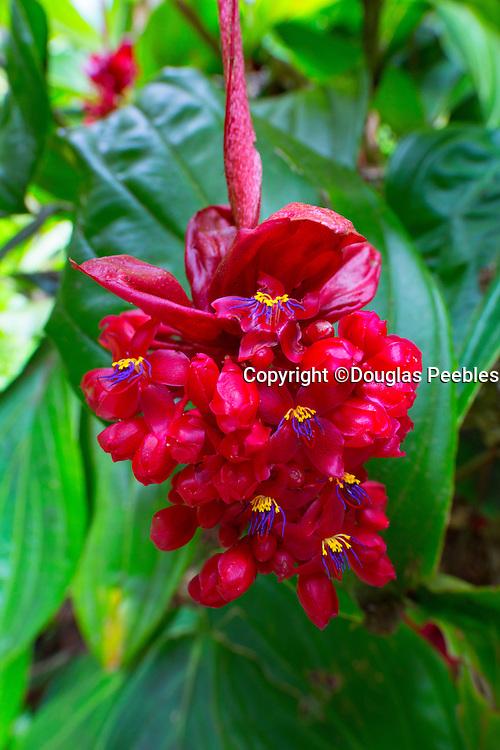 Medinilla Minata, Hawaii Tropical Botanical Garden, Hilo, Hamakua Coast, Big Island of Hawaii