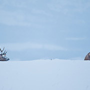 elk bull snow watching cow elk in snow
