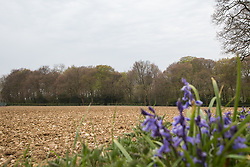 Wendover, UK. 28th April, 2021. Ancient woodland at Jones Hill Wood is viewed across a field. Felling of Jones Hill Wood, which contains resting places and/or breeding sites for pipistrelle, barbastelle, noctule, brown long-eared and natterer's bats, has recommenced for HS2 after a High Court judge yesterday refused campaigner Mark Keir permission to apply for judicial review and lifted an injunction on felling.