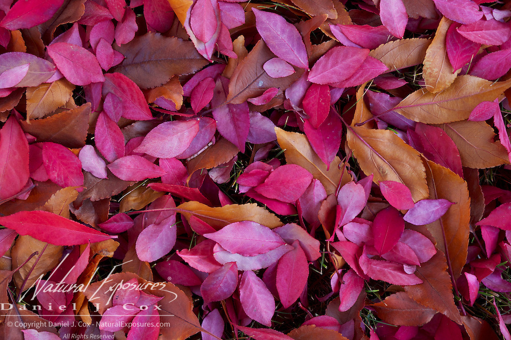 Colored petals from a tree in a yard in Missoula cover the ground. Montanan