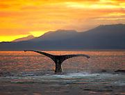 USA, Alaska, Chatham Strait, Humpback whale (Megaptera novaeangliae) tail at sunset