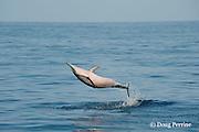 Hawaiian spinner dolphin or Gray's spinner dolphin or long-snouted spinner dolphin, Stenella longirostris longirostris, leaping from water, Honokohau, Kona Coast, Big Island, Hawaii ( Central Pacific Ocean )