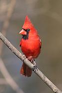A Red Bird, The Northern Cardinal, Male, Cardinalis cardinalis, Posing As If For A Portrait