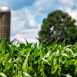 Ronks, PA / USA - June 27, 2017: Corn growing in a Lancaster County farmer's field is just weeks away from producing sweet corn.