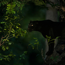 A black panther in search of first light.<br /> <br /> BIO: Shaaz Jung is a wildlife cinematographer and professional photographer. He specializes in documenting and studying big cats in South India and East Africa. Shaaz has dedicated the past five years to documenting melanistic leopards in the wild and was the 'Director of Photography' for a National Geographic feature film called 'The Real Black Panther'. He is an Ambassador for Nikon and Samsung in India and also runs eco-friendly Safari Lodges, where he guides expeditions into the wilderness.<br /> <br /> WEBSITE: shaazjung.com<br /> INSTAGRAM: @shaazjung