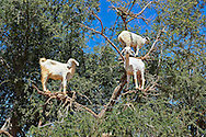 Goats feeding on Argan nuts in an Argon tree. Near Essouira,, Morocco .<br /> <br /> Visit our MOROCCO HISTORIC PLACES PHOTO COLLECTIONS for more   photos  to download or buy as prints https://funkystock.photoshelter.com/gallery-collection/Morocco-Pictures-Photos-and-Images/C0000ds6t1_cvhPo