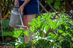 Watering courgettes with a watering can