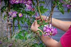 Tying in a climbing rose with garden twine - Rosa 'Veilchenblau' AGM