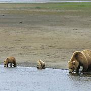 Alaskan Brown Bear, (Ursus middendorffi) Mother and cubs forging for clams on tidal flats, Katmai National Park. Alaska.