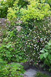 Erigeron karvinskianus syn. mucronatus (Mexican daisy) growing in cracks in a dry stone wall with self sown wild strawberries, Aquilegia and Alchemilla mollis