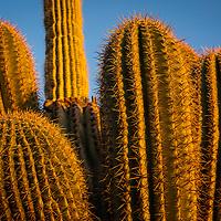 A Saguaro changed from green to orange by the setting sun in Arizona. © John McBrayer