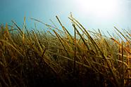 Zostera muelleri (Seagrass)