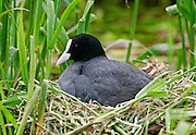 Coot sits on nest incubating eggs on a stream near the River Thames in Windsor, England