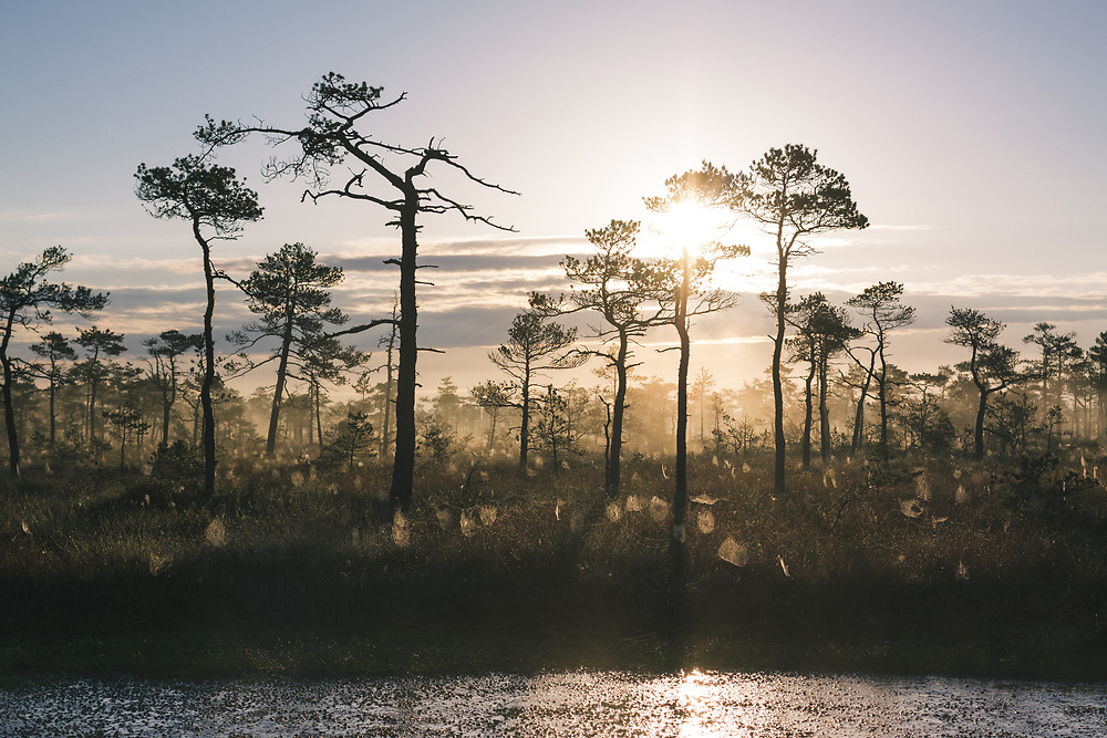 "A foggy landscape of raised bog in sunrise with dark silhouettes of scots pines and brightly lit spider webs, nature reserve ""Dzelves-Kroņa purvs"", Latvia Ⓒ Davis Ulands | davisulands.com"