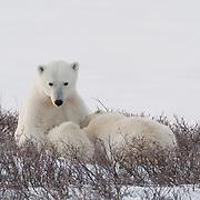 Polar bear (Ursus maritimus) mother nursing her cub. Gordon Point, Hudson Bay, Manitoba, Canada