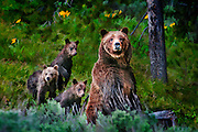 Grizzly Sow and three cubs with Spring wildflowers photographed in Grand Teton National Park by Mike R. Jackson.