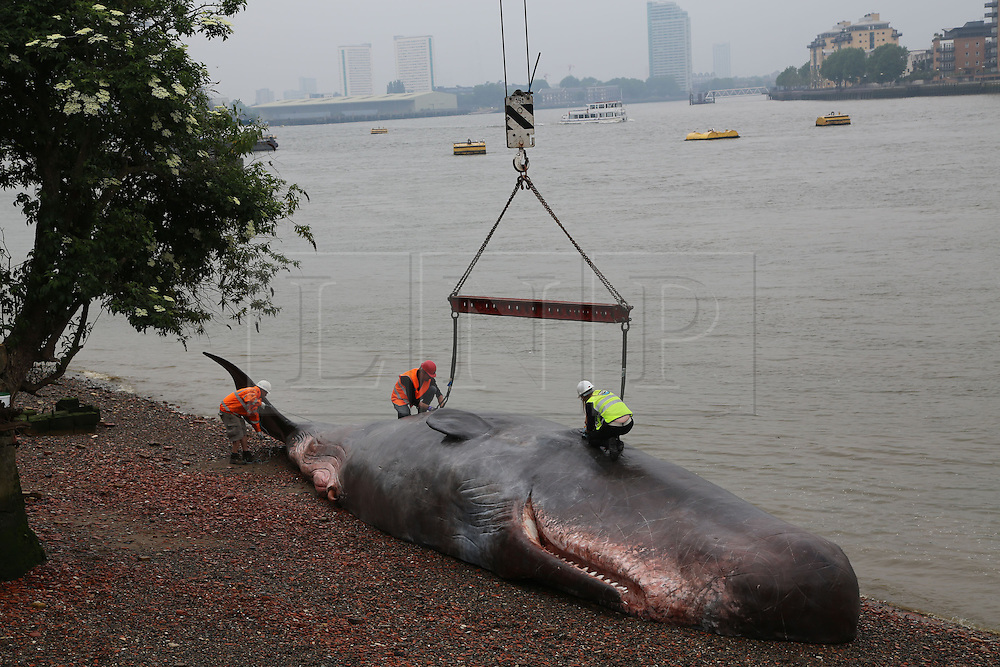 © Licensed to London News Pictures. 20/06/2013. Greenwich, United Kingdom. Crowds flocked to the Greenwich foreshore to see the whale that had apparently been washed up. The 17m hyper realistic model of a sperm whale is in Greenwich for the Greenwich+Docklands International Festival credit : Rob Powell/LNP