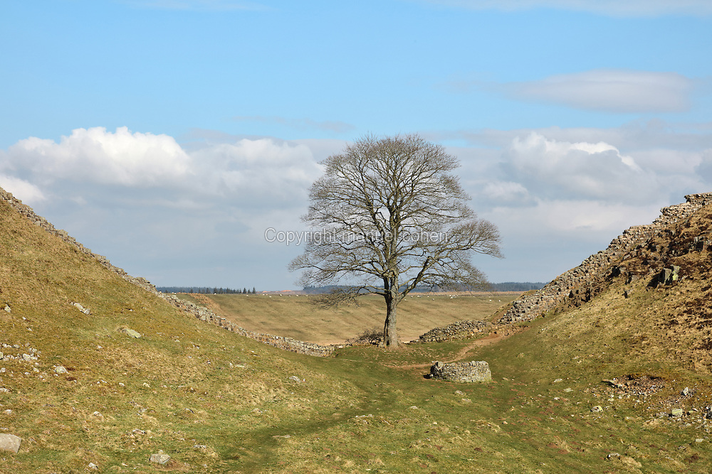 Sycamore Gap on Hadrian's Wall, Northumberland, England, a scene immortalised in the 1991 film, Robin Hood Prince of Thieves. Hadrian's Wall was built 73 miles across Britannia, now England, 122-128 AD, under the reign of Emperor Hadrian, ruled 117-138, to mark the Northern extent of the Roman Empire and guard against barbarian attacks from the Picts to the North. The wall was fortified with milecastles with 2 turrets in between, and a fort about every 5 Roman miles. This section of the Wall is in the Northumberland National Park, managed by the National Trust, and the Hadrian's Wall Path, an 84-mile coast to coast long distance footpath, runs alongside it, together with a section of the Pennine Way. Picture by Manuel Cohen