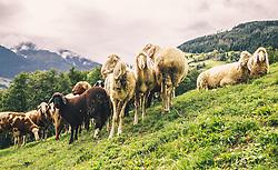 THEMENBILD - eine Schafherde auf einer Almwiese, aufgenommen am 29. September 2019, Piesendorf, Österreich // a flock of sheep on a mountain pasture on 2019/09/29, Piesendorf, Austria. EXPA Pictures © 2019, PhotoCredit: EXPA/ Stefanie Oberhauser