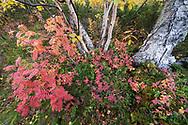 Rowan or mountain-ash, Sorbus aucuparia, with Dwarf cornel or bunchberry, Cornus suecica, and birch, Stora Sjoefallet National Park, Laponia Unesco World Heritage Site, Norrbotten, Lapland, Sweden
