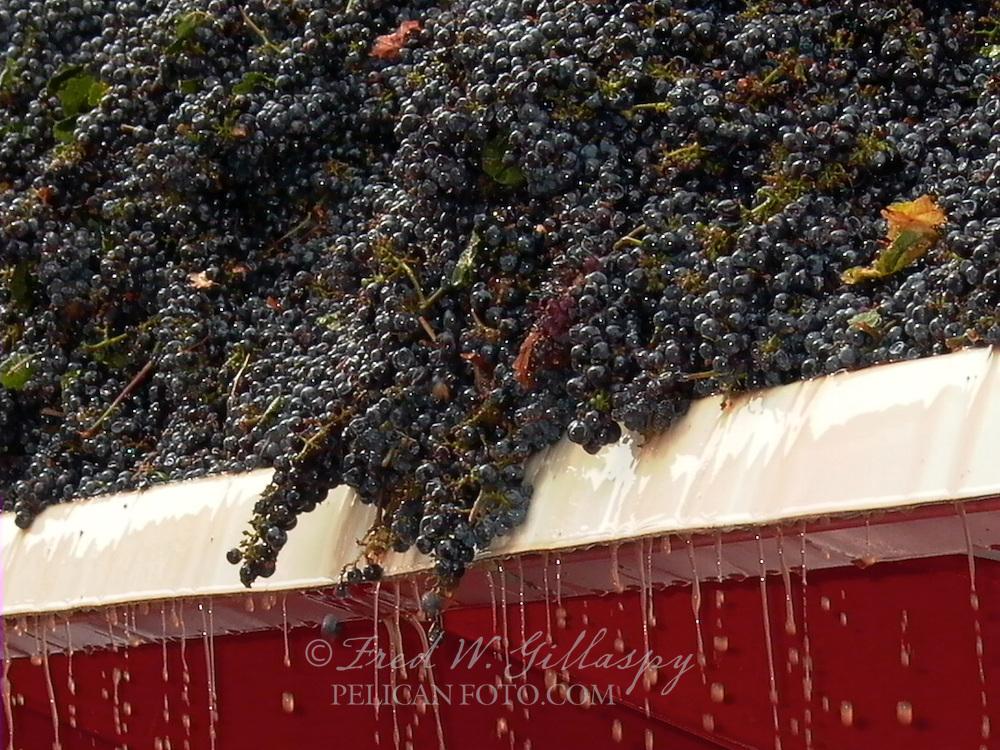 Wine Grape Harvest 0069