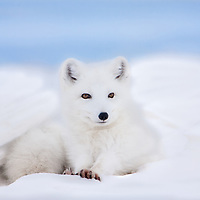 Arctic fox in white winter coat rests in a snowdrift on a frozen lake in Alaska's north slope