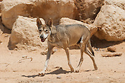 Arabian wolf (aka desert wolf Canis lupus arabs). This wolf is  subspecies of gray wolf. Photographed in Israel, Negev desert