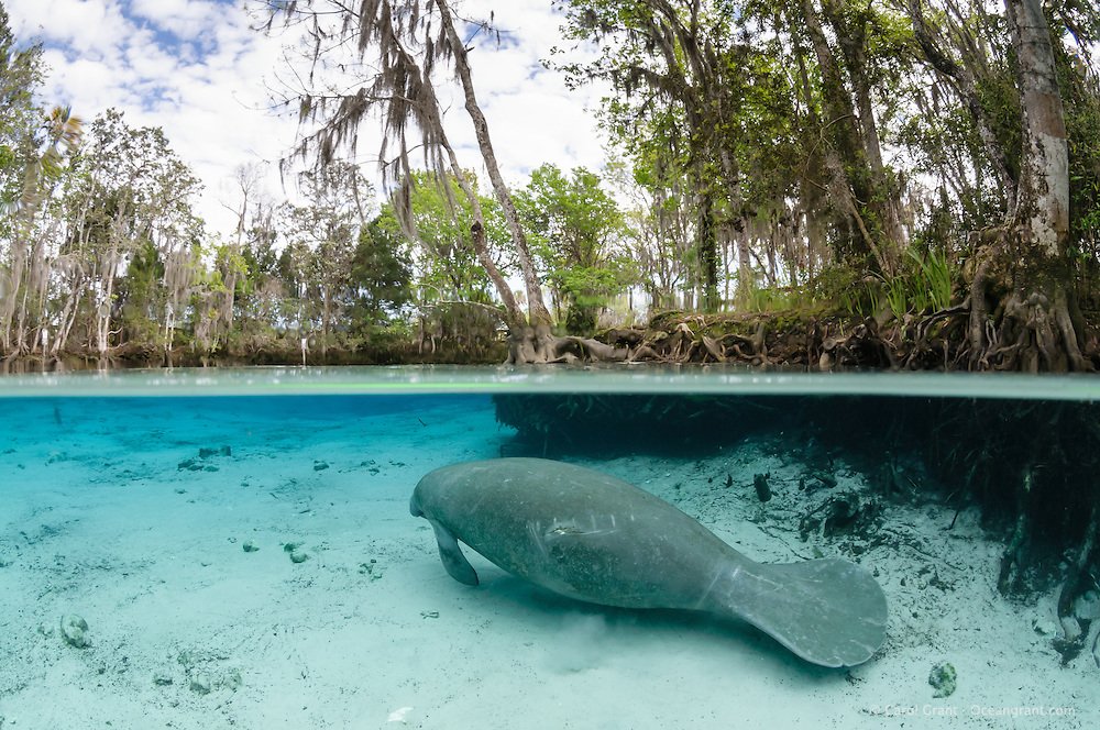 Florida manatee, Trichechus manatus latirostris, a subspecies of the West Indian manatee, endangered. A manatee swims towards a warm blue freshwater springhead on a cool cloudy day. There are propeller scars on its back. Horizontal orientation split image with submerged tree roots and trees circling the springs. Three Sisters Springs, Crystal River National Wildlife Refuge, Kings Bay, Crystal River, Citrus County, Florida USA.