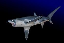 bigeye thresher shark, Alopias superciliosus, model