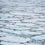 A radio collared polar bear makes its way across the broken ice pack of the Beaufort Sea. Arctic Ocean