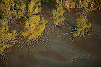 Late afternoon light illuminates Sonneratia mangrove forest and adjacent mudflat at low tide in an aerial view.  Lines of breathing roots protruding from the mud radiate out from the trees.